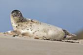 Grey seal (Halichoerus grypus) Young animal, Schleswig-Holstein, Helgoland, Germany, Europe