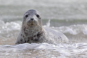 Grey seal (Halichoerus grypus) Young animal playing in the water, Schleswig-Holstein, Helgoland, Germany, Europe