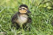 Mallard (Anas platyrhynchos), chick in grass, Emsland, Lower Saxony, Germany, Europe RF