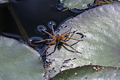 Raft spider (Dolomedes sp.) on a white water lily leaf in summer, Etang de Blancfaing, Vosges, France