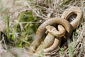 Smooth snakes (Coronella austriaca) mating, Bollenberg, Alsace, France