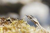 Vipère aspic (Vipera aspis) recueillant des informations sur son environnement avec sa langue, Bollenberg, Alsace, France