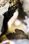 Asp viper (Vipera aspis) hidden in an old wall, Bollenberg, Alsace, France