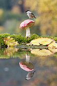 Marsh tit (Poecile palustris) on Fly agaric (Amanita muscaria) reflecting in water, Alsace, France