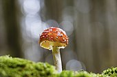 Fly agaric (Amanita muscaria), Alsace, France