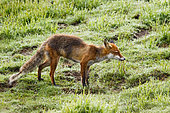 Red Fox (Vulpes vulpes) feeding on an earthworm, Vosges, Alasace, France