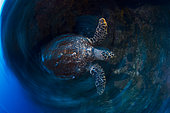 Hawksbill Turtle (Eretmochelys imbricata) in motion, South Boat Pass, Mayotte