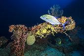 Blue trevally (Caranx melampygus) on deep reef at almost 80 meters deep, Mayotte