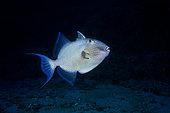Baliste vermiculé (Pseudobalistes fuscus) en plongée profonde au pied du tombant de la passe bateau Nord, à une profondeur de 70 mètres, Mayotte