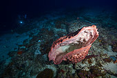 Barrel sponge (Xestospongia muta) on the edge of the second falling, about 50 meters deep. Mayotte