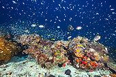 Underwater life around coral reef, Mayotte