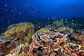 Healthy coral reef, Mayotte