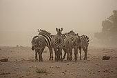 Plains zebra (Equus quagga) in the dust blizzard, Amboseli, Kenya