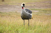 Grey crowned crane (Balearica regulorum) in savanna, Masai Mara, Kenya