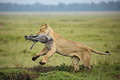 Lion (Panthera leo) lioness catching a young common warthog, Masai Mara, Kenya