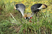 Pair of Grey crowned cranes (Balearica regulorum) and chick at nest, Masai Mara, Kenya