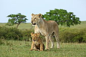 Lion (Panthera leo) Lioness and lion cub playing, Masai Mara, Kenya