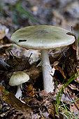 Death cap (Amanita phalloides), Doller valley, Haut-Rhin, Alsace, France
