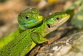Couple of Western Green Lizards (Lacerta bilineata), Bollenberg, Alsace, France