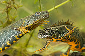 Great Crested Newt (Triturus cristatus) male and female