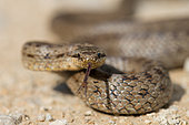 Smooth snake (Coronella austriaca) male tongue-flicking, Ecrouves, Meurthe-et-Moselle, France