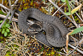 Smooth Snake (Coronella austriaca), mont Saint-Quentin, Moselle, France