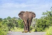 African bush elephant (Loxodonta africana) in Kruger National park, South Africa.