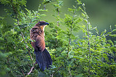 Coucal de Burchell (Centropus superciliosus) sur une branche, parc national Kruger, Afrique du Sud.