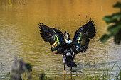 Knob billed duck in Kruger National park, South Africa. Specie Sarkidiornis melanotos family of Anatidae