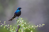 Meves's Glossy Starling in Mapungubwe National park, South Africa. Specie Lamprotornis mevesii family of Sturnidae
