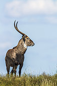 Common Waterbuck (Kobus ellipsiprymnus) in Kruger National park, South Africa.