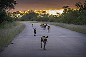African wild dog (Lycaon pictus) in Kruger National park, South Africa.