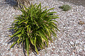 Scallop mulch at the foot of Agapanthes, spring, Manche, Normandy, France