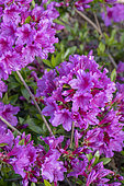 Azalea 'Blaue Donau' in bloom in a garden