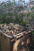 Container rempli de têtes d'hortensias coupées après la période de gel, Printemps, Pas de Calais, France