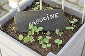 Raising Capucine seeds in a tray, spring, Somme, France