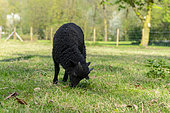 Lamb of Ouessant in a meadow, spring, Somme, France