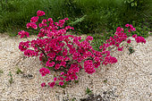 Azalea in bloom in a garden