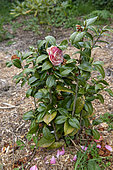 Camellia 'Winter Queen' in bloom in a garden, spring, Manche, France