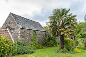 Palm tree in a garden, spring, Manche, France