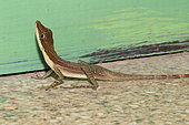 Slender Anole (Anolis limifrons), Costa Rica