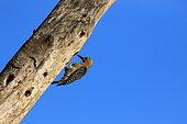 Hoffmann's Woodpecker (Melanerpes hoffmannii) on a trunk, Costa Rica