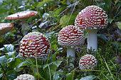 Fly Agaric (Amanita muscaria) mushrooms, Vosges, France