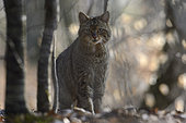 Wild cat (Felis silvestris), Vosges, France
