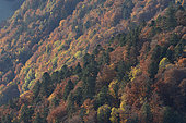 Autumnal forest landscape of the Hohneck region, Ballons des Vosges Regional Natural Park, France