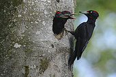 Black woodpecker (Dryocopus martius) adult and chicks at nest hole in tree, Vosges, France