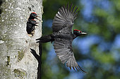 Black woodpecker (Dryocopus martius) flying away from nest hole in tree with chicks, Vosges, France