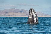 Baleine grise (Eschrichtius robustus) à la surface, Baja California, Mexique.