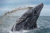 Gray whale (Eschrichtius robustus) Baja California Mexico.