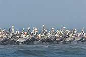 Brown pelicans (Pelicanus occidentalis) Pelicans in fog. Baja California. Mexico.